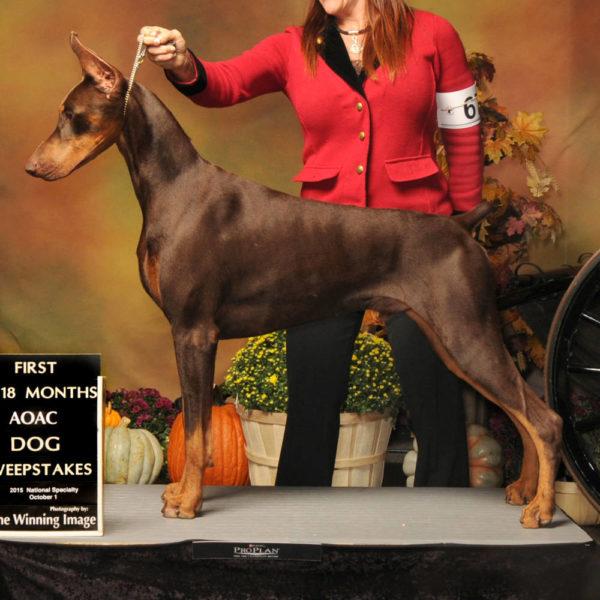 Raindance Dobermans   Breeder of Champion Dobermans in NY